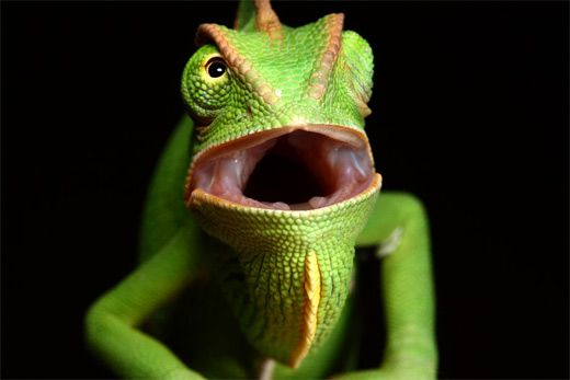 How To Get A Chameleon To Open Its Mouth