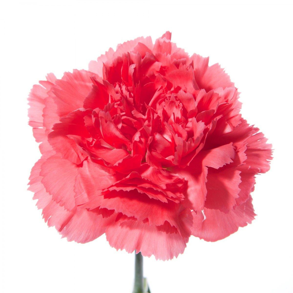 Carnations Dianthus Uses Round Mound Designs Vase Designs Wearables Single Stem Sleeved Arrangeme Types Of Flowers Flower Centerpieces Wedding Pink Flowers