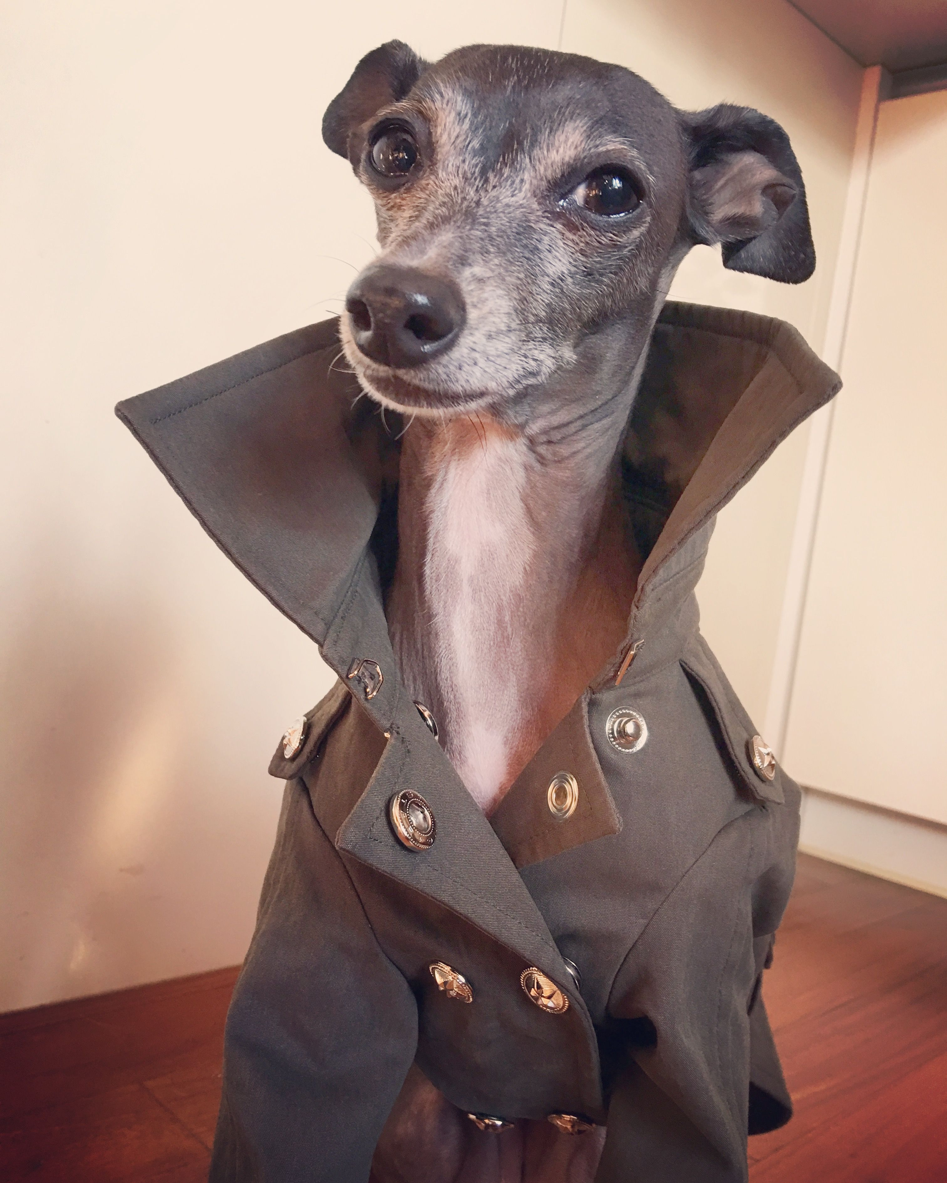 Italiangreyhound Cloths Trench Coat Do Not Copy Model Name Roo Italian Greyhound Clothes Dog Clothes Italian Greyhound