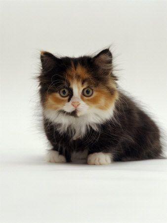 Baby Tortoiseshell Cat Aw I Am Missing My Cat Kittens Cutest Pretty Cats Cute Animals