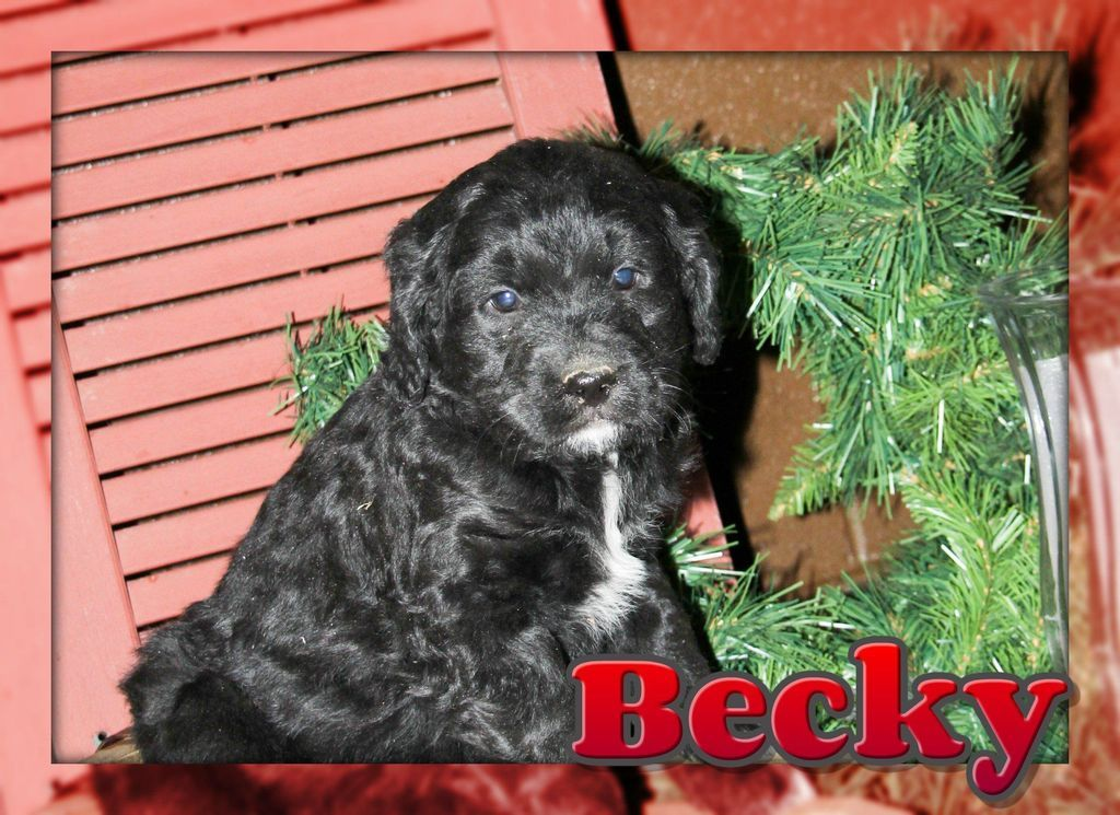 Becky Female Bernedoodle Full Price 800 Deposit Dog Grooming