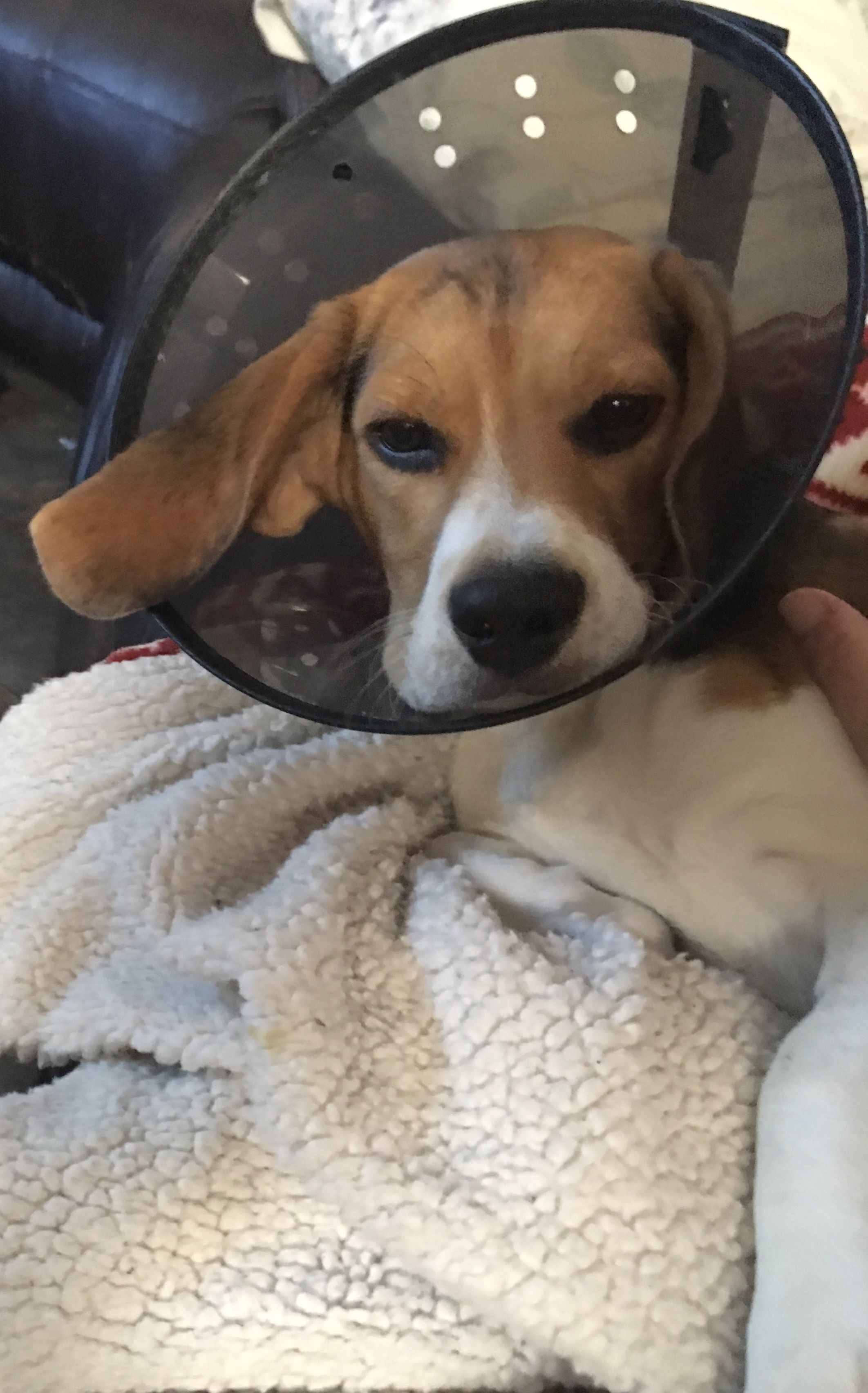 Beagle Cone Of Shame Dogs Best Dogs