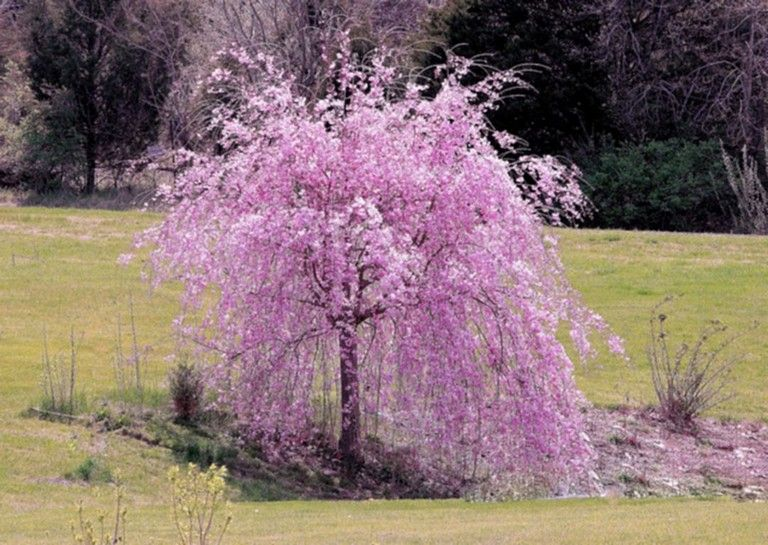 63 Lovely Flowering Tree Ideas For Your Home Yard Page 29 Of 65 Weeping Cherry Tree Flowering Cherry Tree Flowering Trees