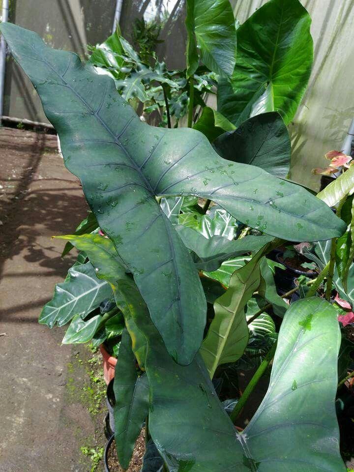Alocasia Princeps Planting Flowers Plant Leaves Live Plants