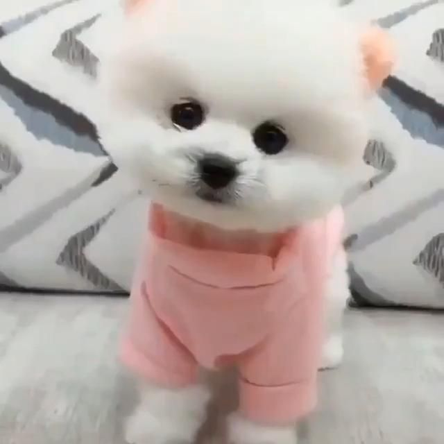 #pets #petlovers #petcare #petstagram #petsofinstagram #animals #animallovers #animalsnature #puppy #puppies #puppydog #puppytraining #dogs #dogsofinstagram #doglovers #whitedog #pomeranian #husky #bichon #bichonfrise #samoyed #samoyedpuppy #poodle #poodlepuppy #instagram #instagood #instapet #maltese  #cute #adorable #amazing #aesthetic #diy #wonderful #tumblr #tiktok #poses  #pink #babyanimal #puppytrainingdiy #tricks #dogtricks #kittens #cutest #cutestanimals
