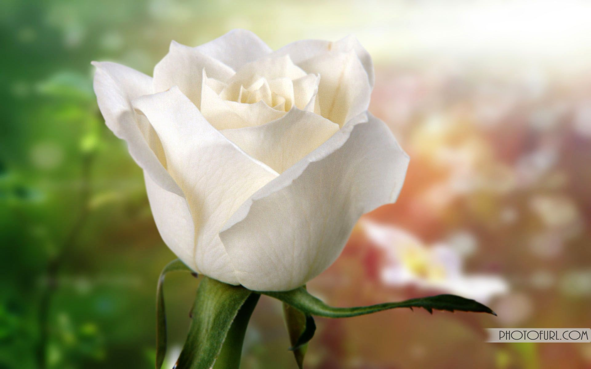 Background Image Twitter Desktop Wallpaper White Rose Flowers