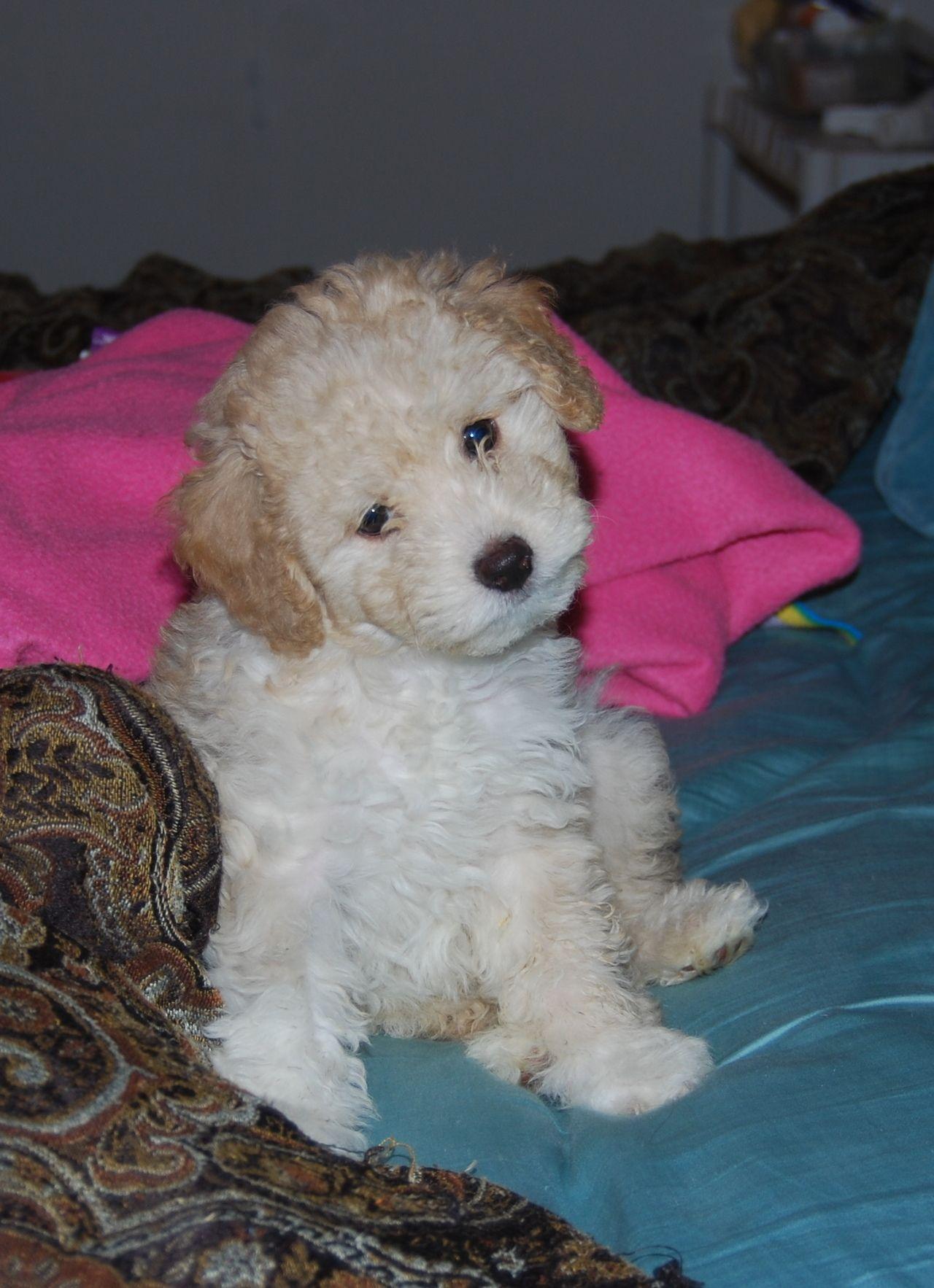 Teddy Bear Dogs Photo Teddy Bear Dog Poodle Puppy Dogs