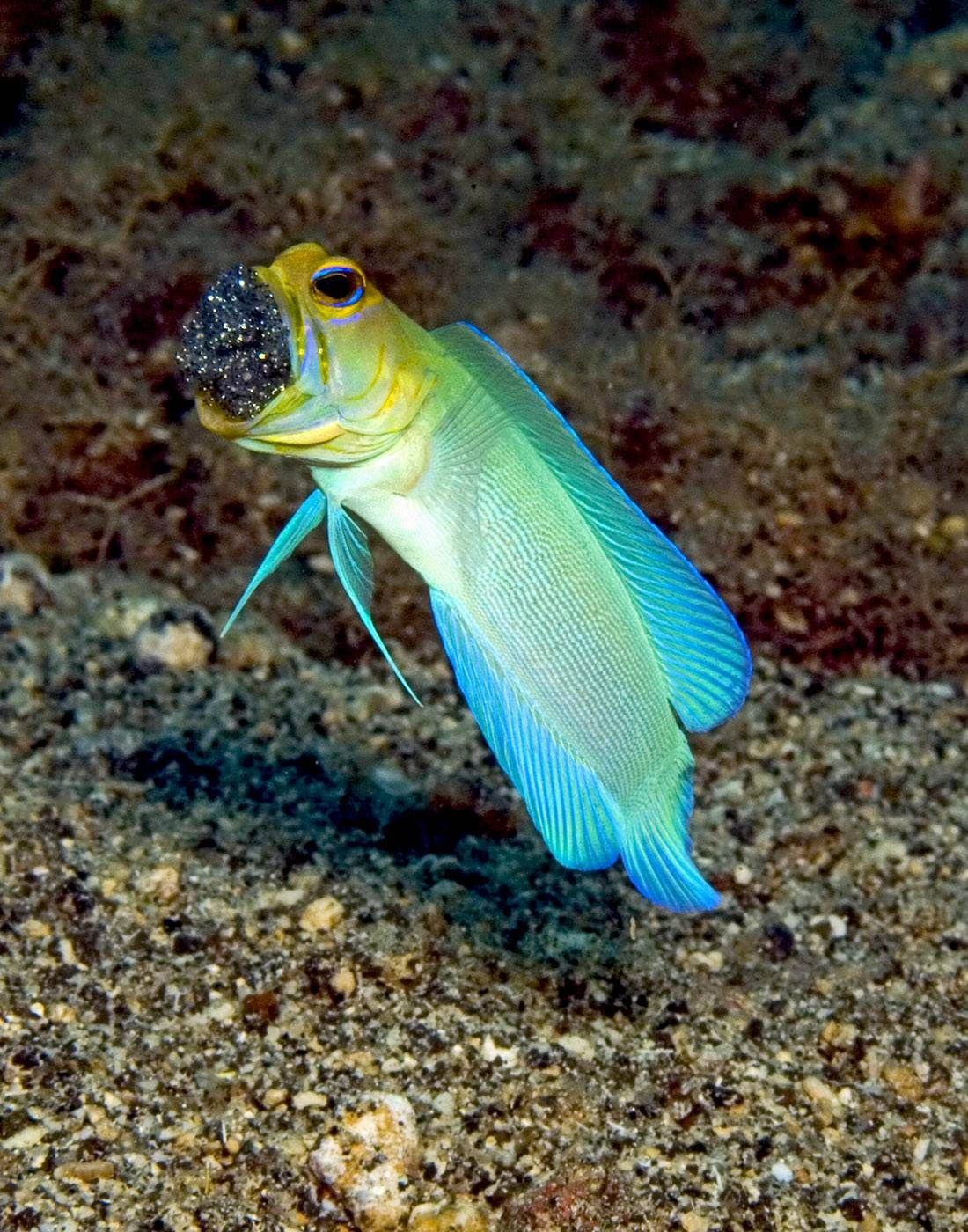 Image result for Jawfish