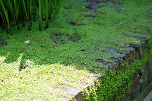 Bodendecker im Garten landschaftsbau immegrün moos haus mauer - indoor garten anlegen geeignete pflanzen
