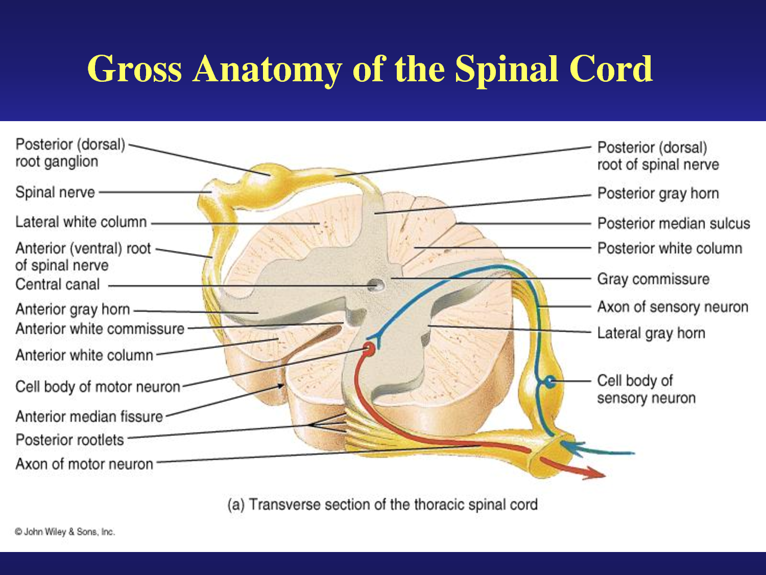 gray and white matter in the spinal cord - Google Search | Beauty ...