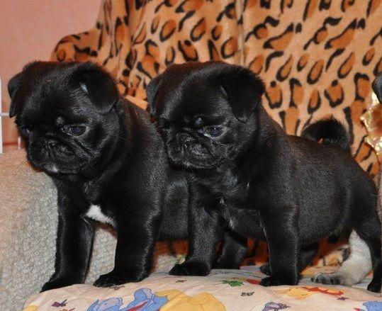 Cute Black Pug Puppies Puglife Cute Baby Pugs Pugs Baby Pugs