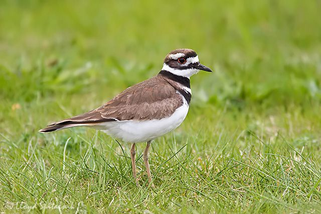 Kildeer - Heard but not seen at the end of March 2013   Where do these bird migrate to in the winter?