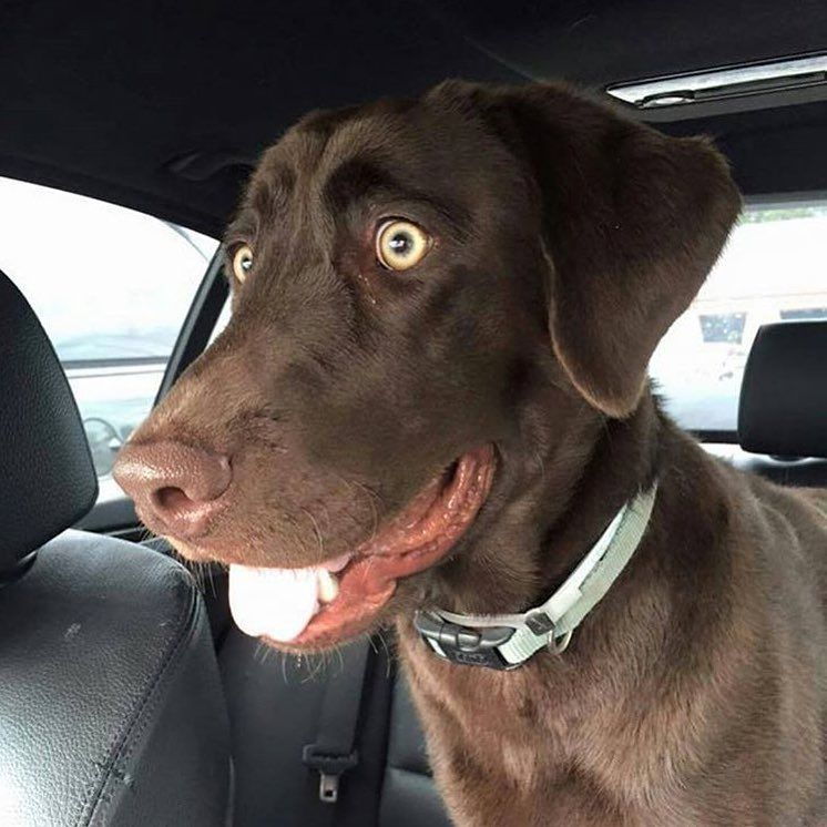 "World of Labradors! on Instagram: ""Foster or Forever Home Wanted @labsandfriends Meet Riley Oh My Stunning Boy!! Riley is a 2-3 year old chocolate Labrador who washed up in the Carson Shelter. Riley is as sweet as he is good looking!"