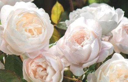 Desdemona Roses Order Online Ashridge Nurseries David Austin English Roses Beautiful Flowers Pictures