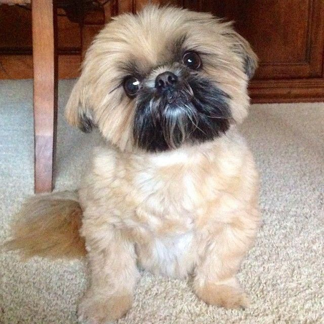 Find Out More On Energetic Shih Tzu Puppy Size Shihtzu