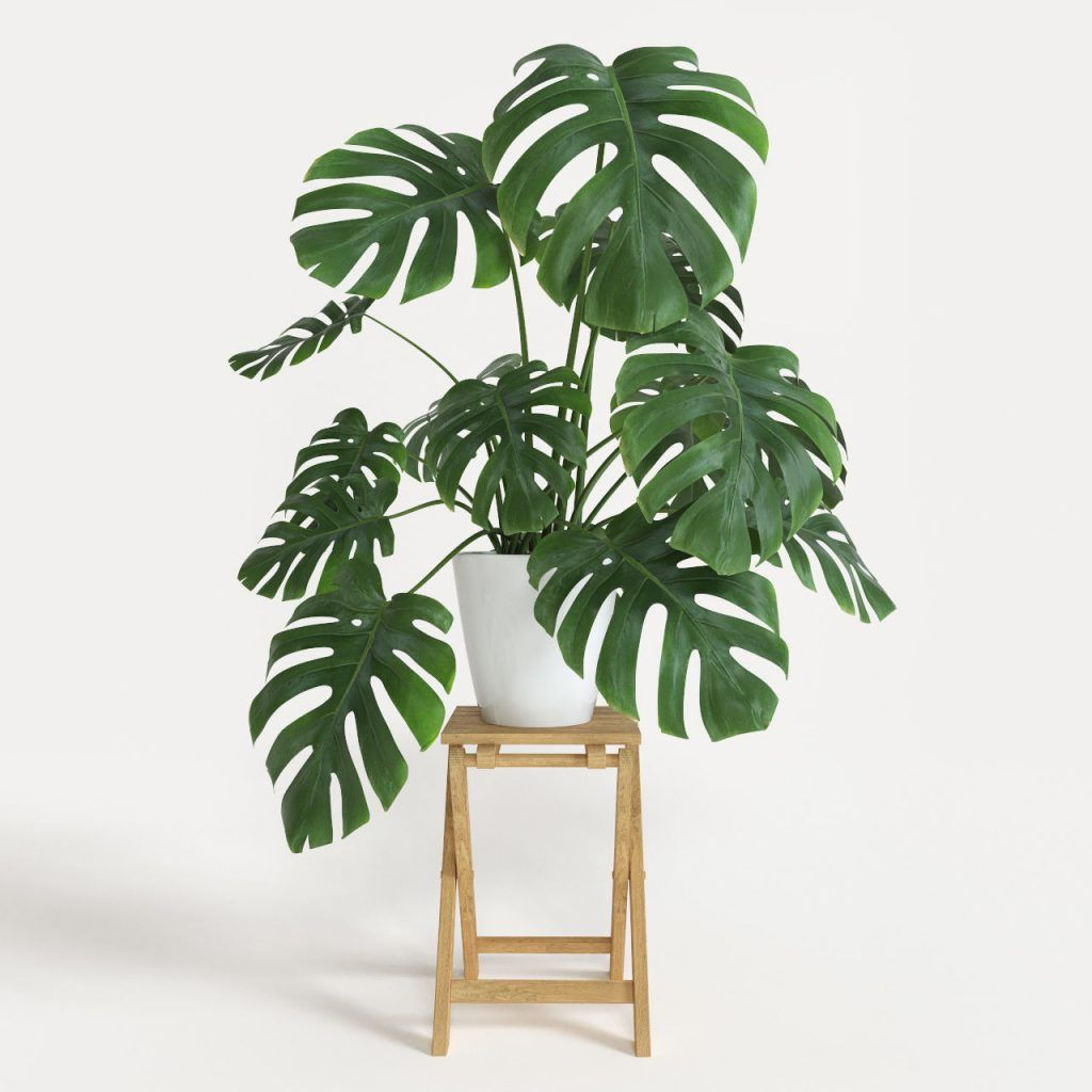 Monstera deliciosa (Costela de Adão)
