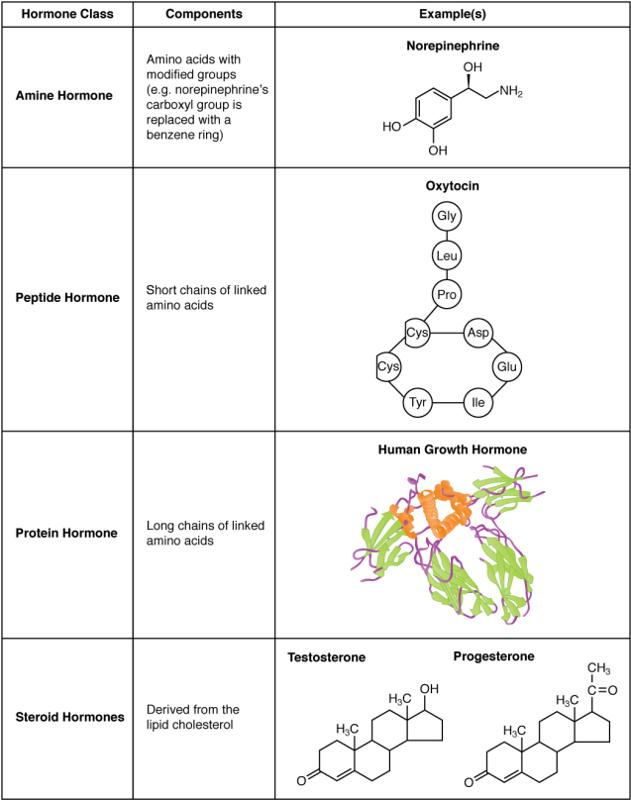 hormones and human behavior
