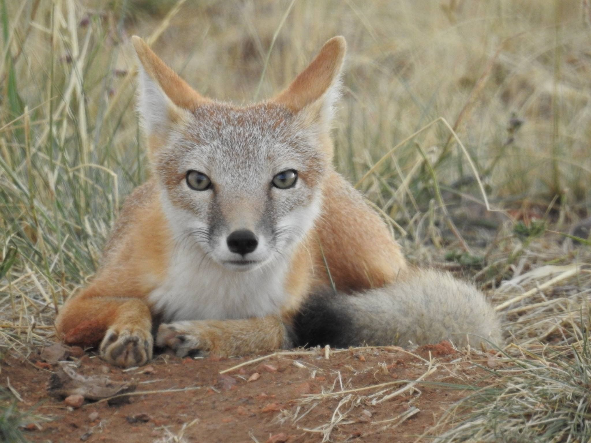 Tina Toth shared with us her terrific photo of a swift fox