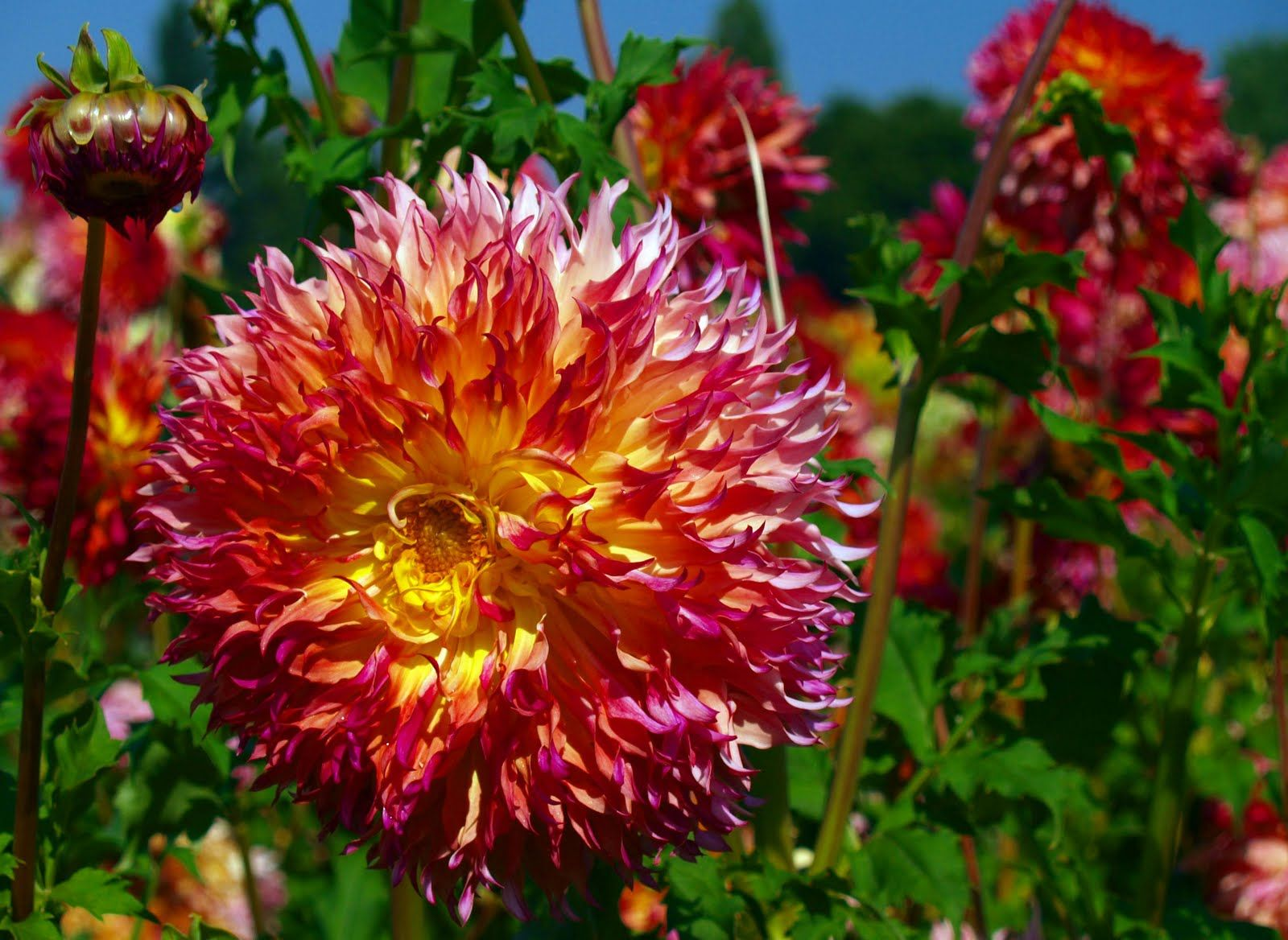 Dahlia Fields Canby Oregon In The Dahlia Festival Is Going On