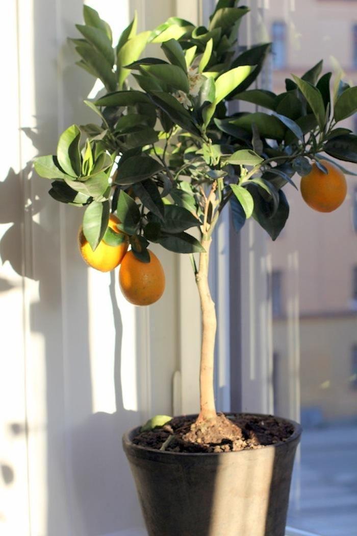 The Truth About Indoor Citrus Trees Hint They Belong Outdoors Remodelista Indoor Lemon Tree Indoor Fruit Trees Citrus Trees