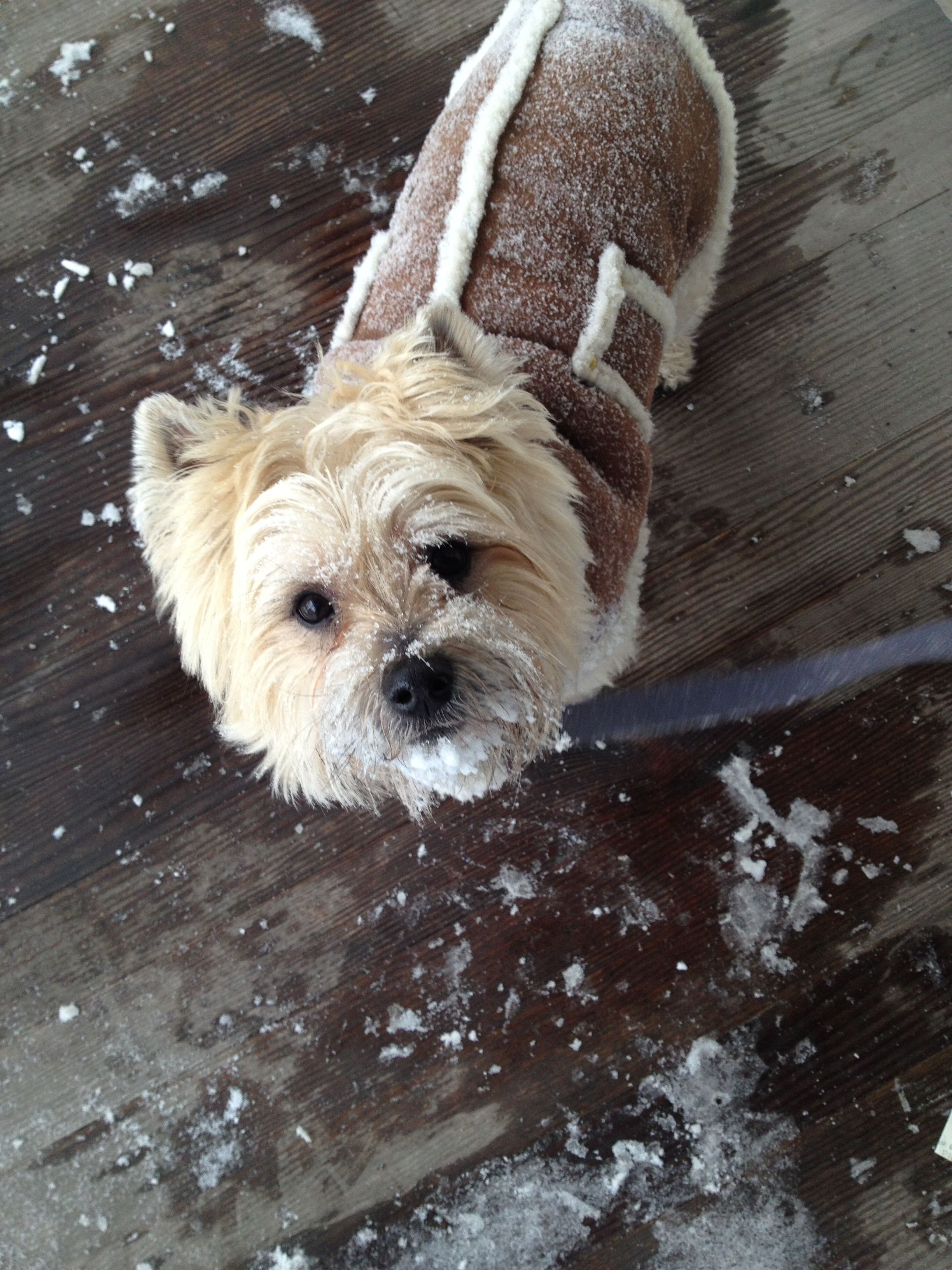 Charlie The Cairn Terrier In His Winter Jacket Cairn Terrier West Highland Terrier Scottie Terrier