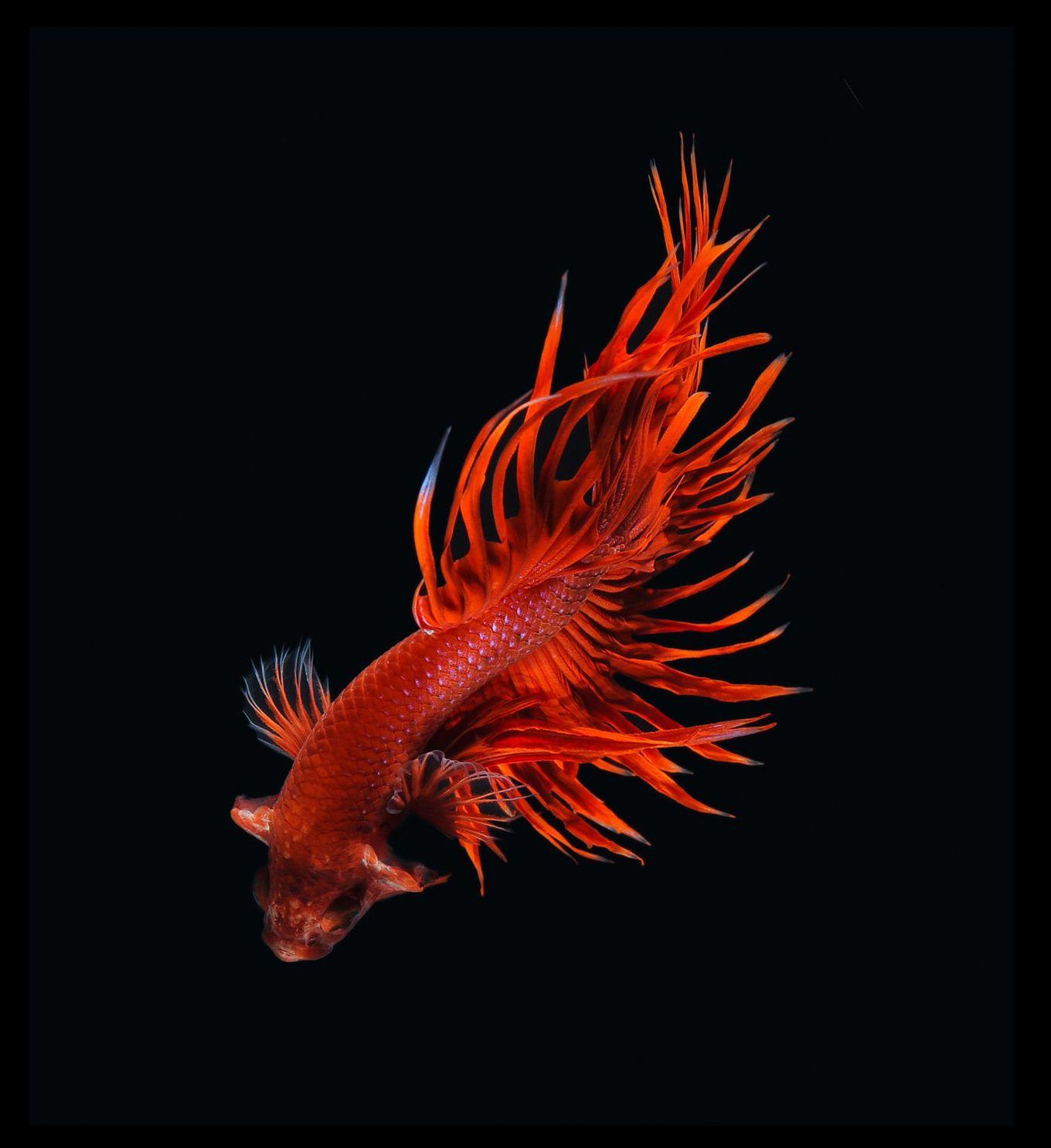 Photographer Visarute Angkatavanich Siamese Fighting Fish Betta Fish Betta