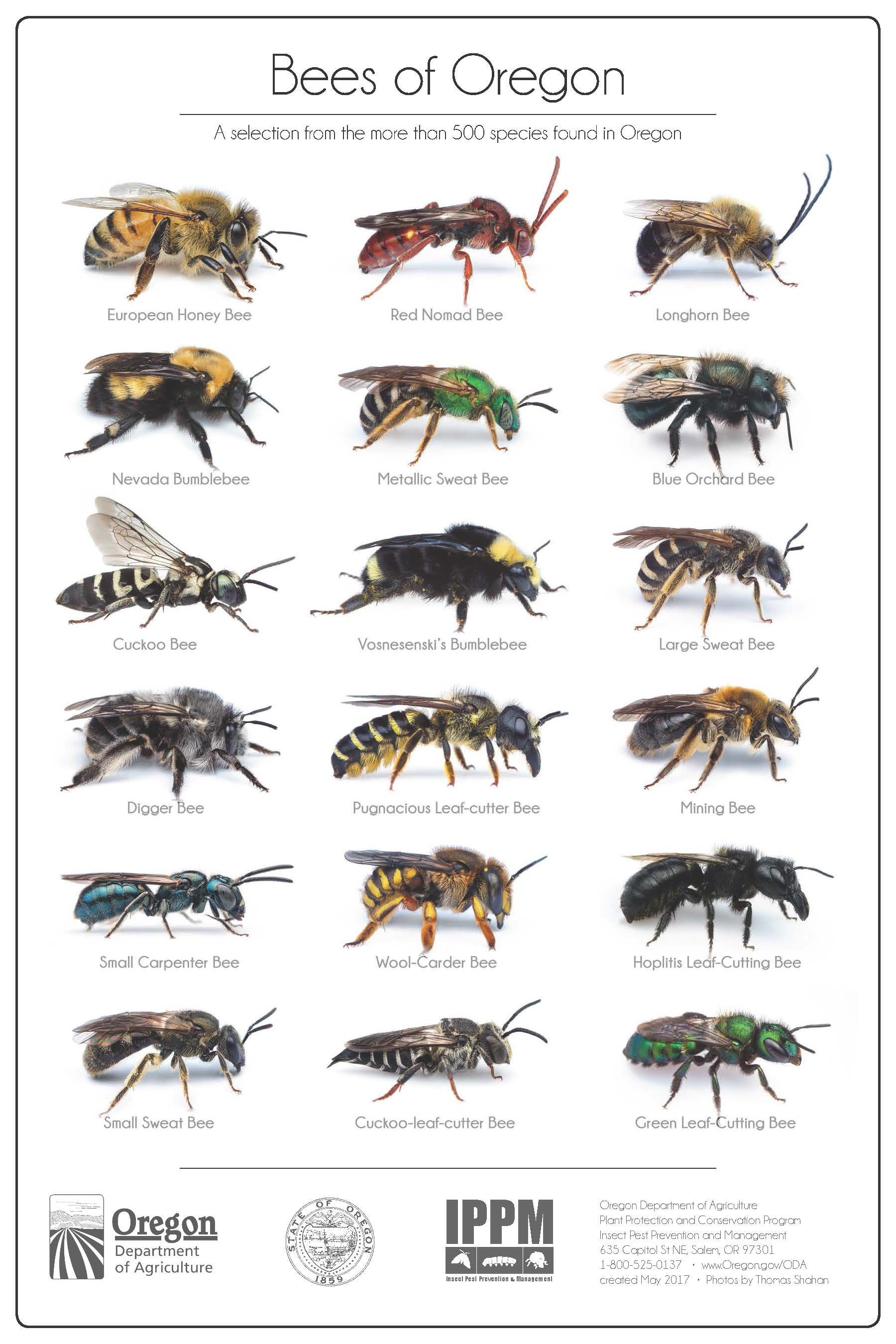 Bees Of Oregon A Selection From The More Than 500 Species Found In Oregon By The Oregon Department Of Agricultur Bee Remedies For Bee Stings Pest Prevention