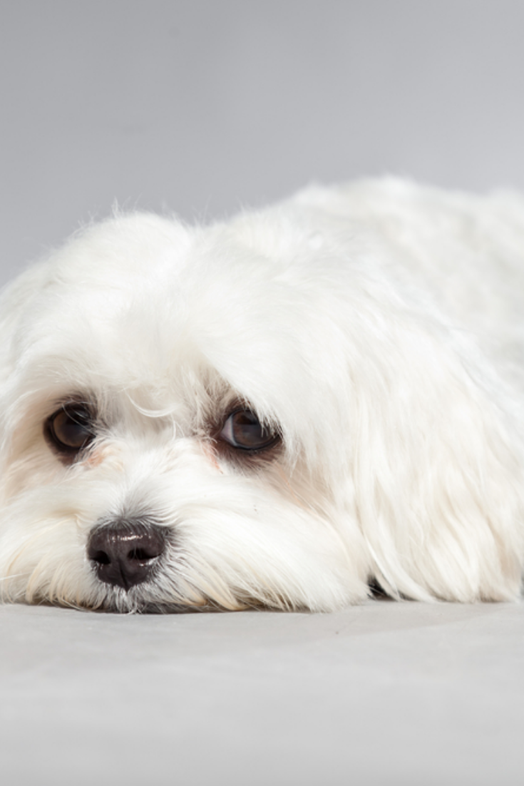 Cute White Young Maltese Dog Studio Shot Grey Background With Images Maltese Dogs Maltese Breed Maltese Puppy