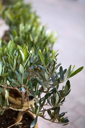 olivenbaum berwintern pflanzen pinterest olivenbaum berwintern garten und olivenbaum. Black Bedroom Furniture Sets. Home Design Ideas
