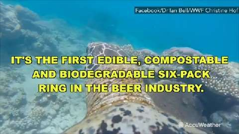 May 24, 2016 12:30 PM EST Saltwater Brewery in Delray Beach, Florida, has created edible six-pack rings that feed, rather than kill, marine life if the rings end up in the ocean and a sea mammal ingests it.