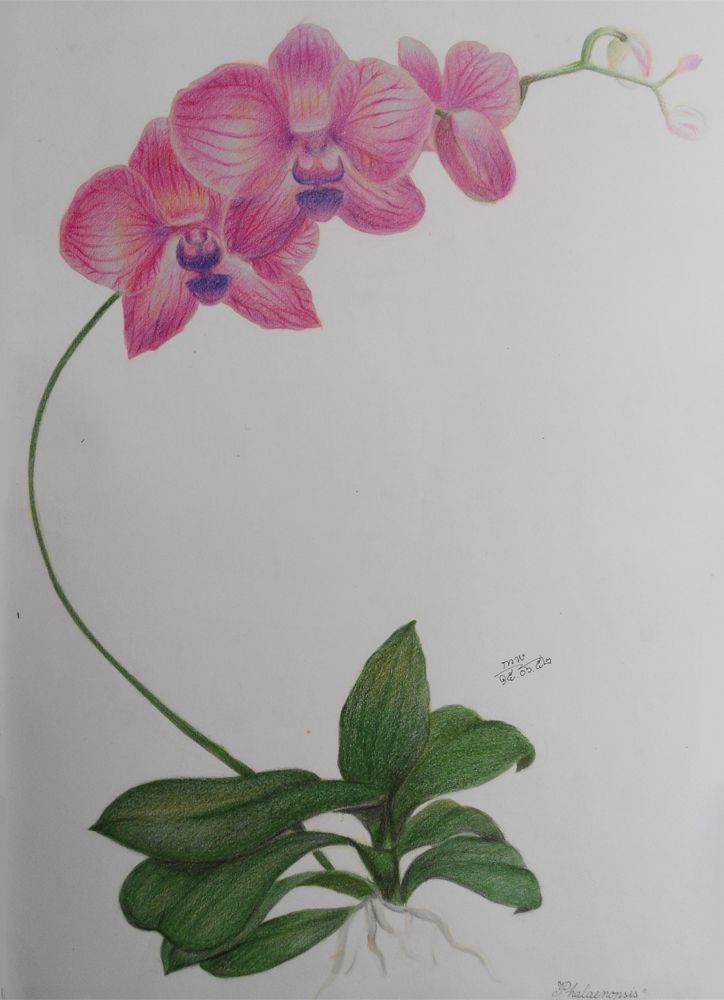 Orchid Color Pencil Drawing Study By Shikifourseasons Deviantart
