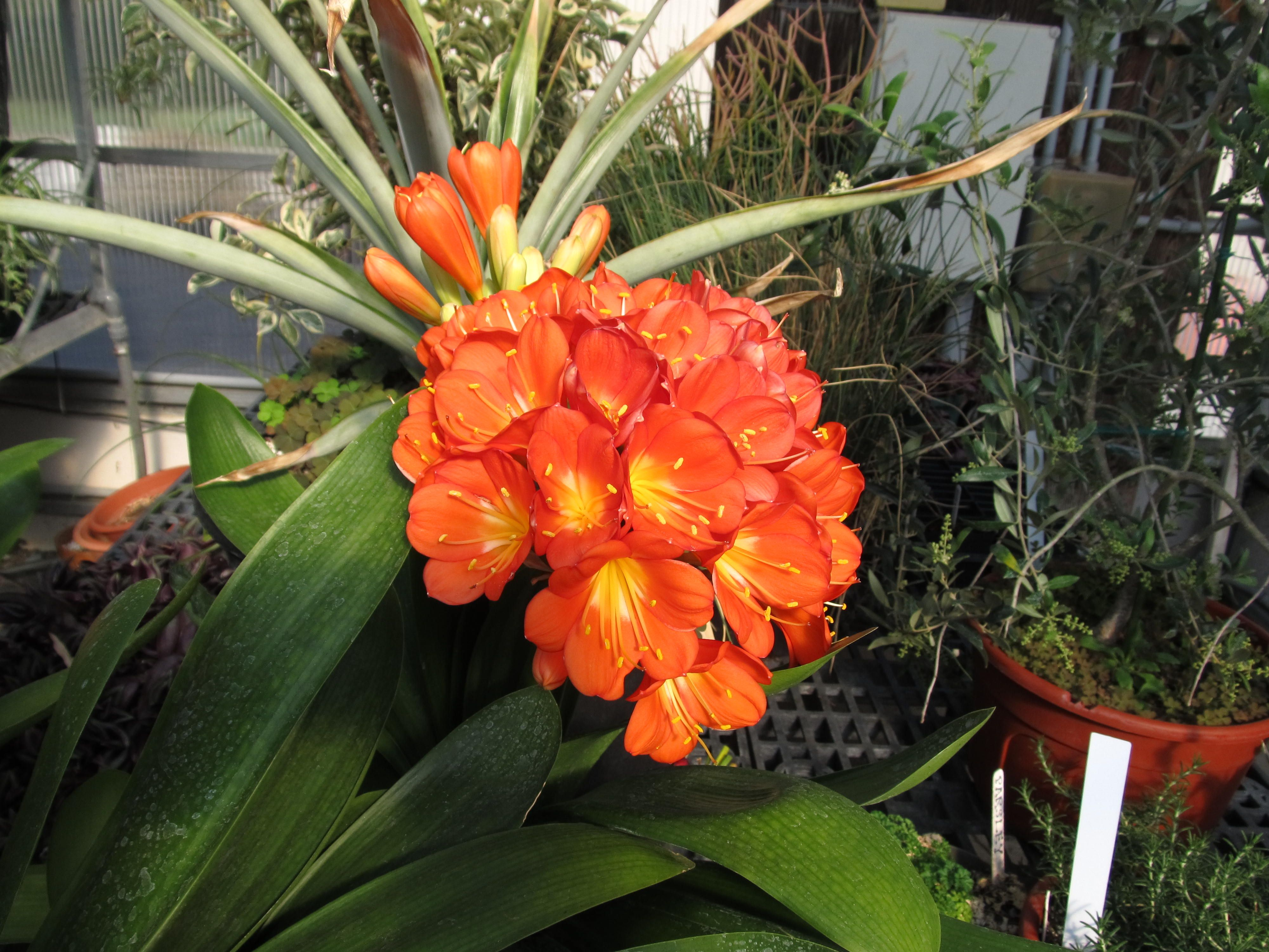Tropical Plants With Orange Flowers Check Out The Free Plant Identification Mobile At Gardenanswers Pinterest