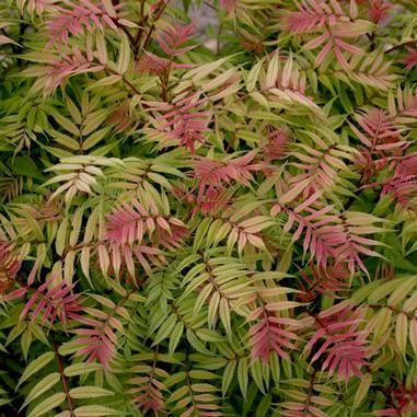 Sorbaria Sorbifolia Sem Sem Ural False Spirea Organic Plants Spirea Flowers Perennials