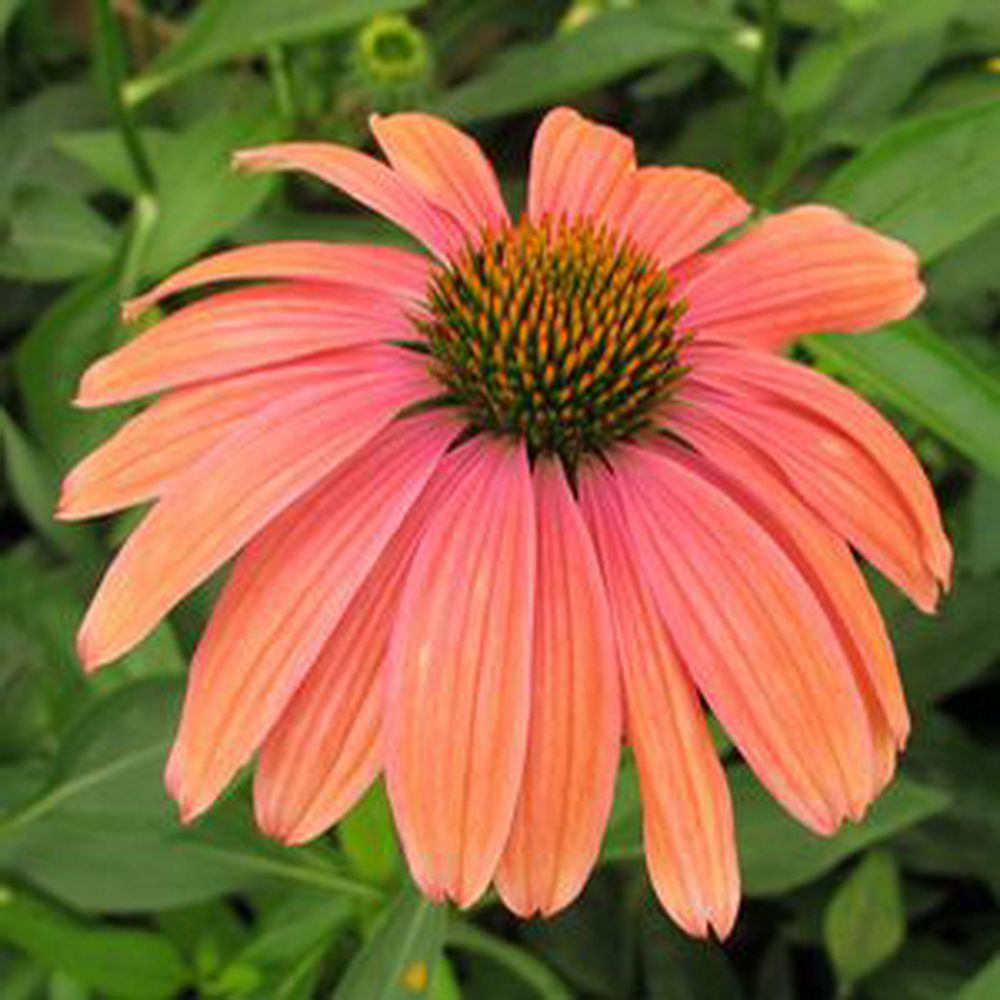20 Seeds Echinacea Mama Mia Flowers Change Colors Seedsforcurrentyear Echinacea Flowers Order Plants Online