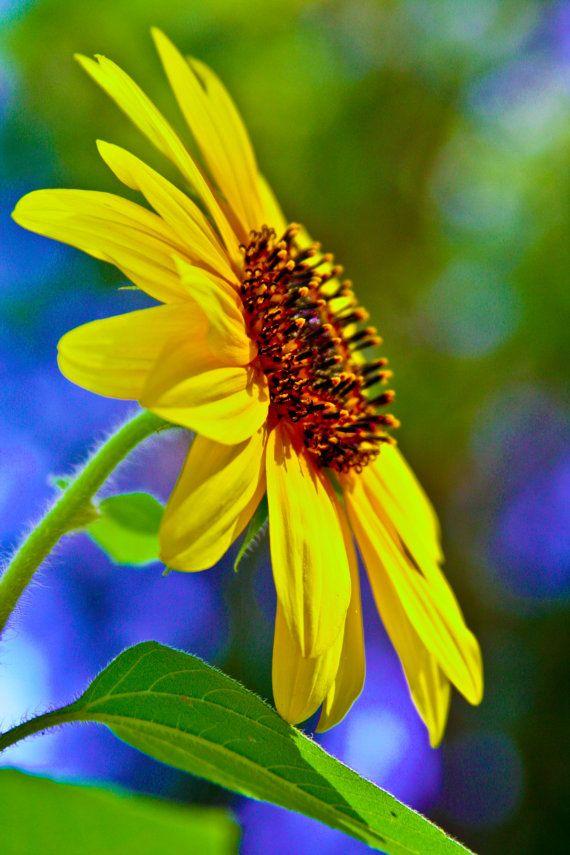 Fall Harvest Sunflower Photograph Blue Yellow by LostCoastArts, $12.00