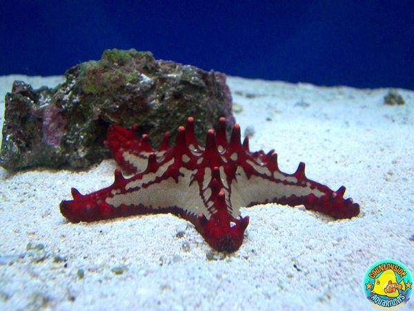 Red Chocolate Chip Starfish Ad Com Gallery Chocolate Chip Starfish Red Chocolate Saltwater Aquarium