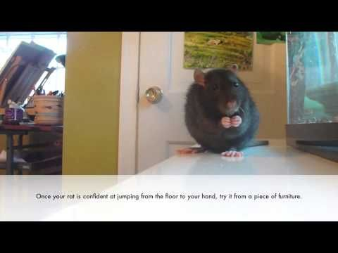 How to Teach a Rat to Jump into Your Hand on Command - http://www.7tv.net/how-to-teach-a-rat-to-jump-into-your-hand-on-command/