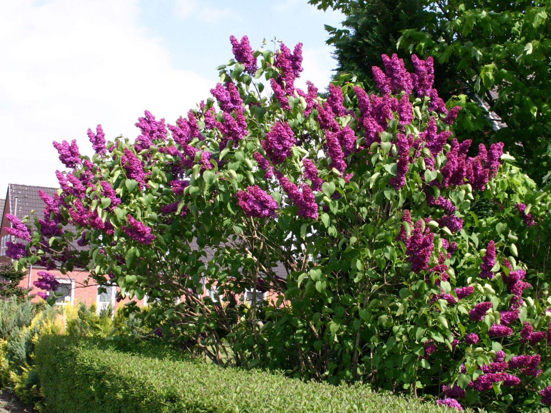 Edelflieder 39 andenken an ludwig sp th 39 syringa vulgaris - Syringa vulgaris ...
