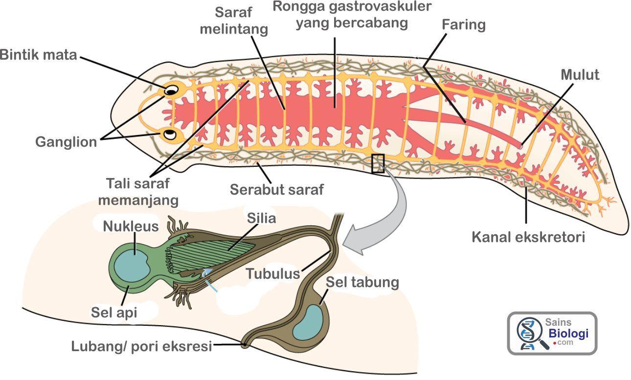 Struktur Tubuh Platyhelminthes Planaria