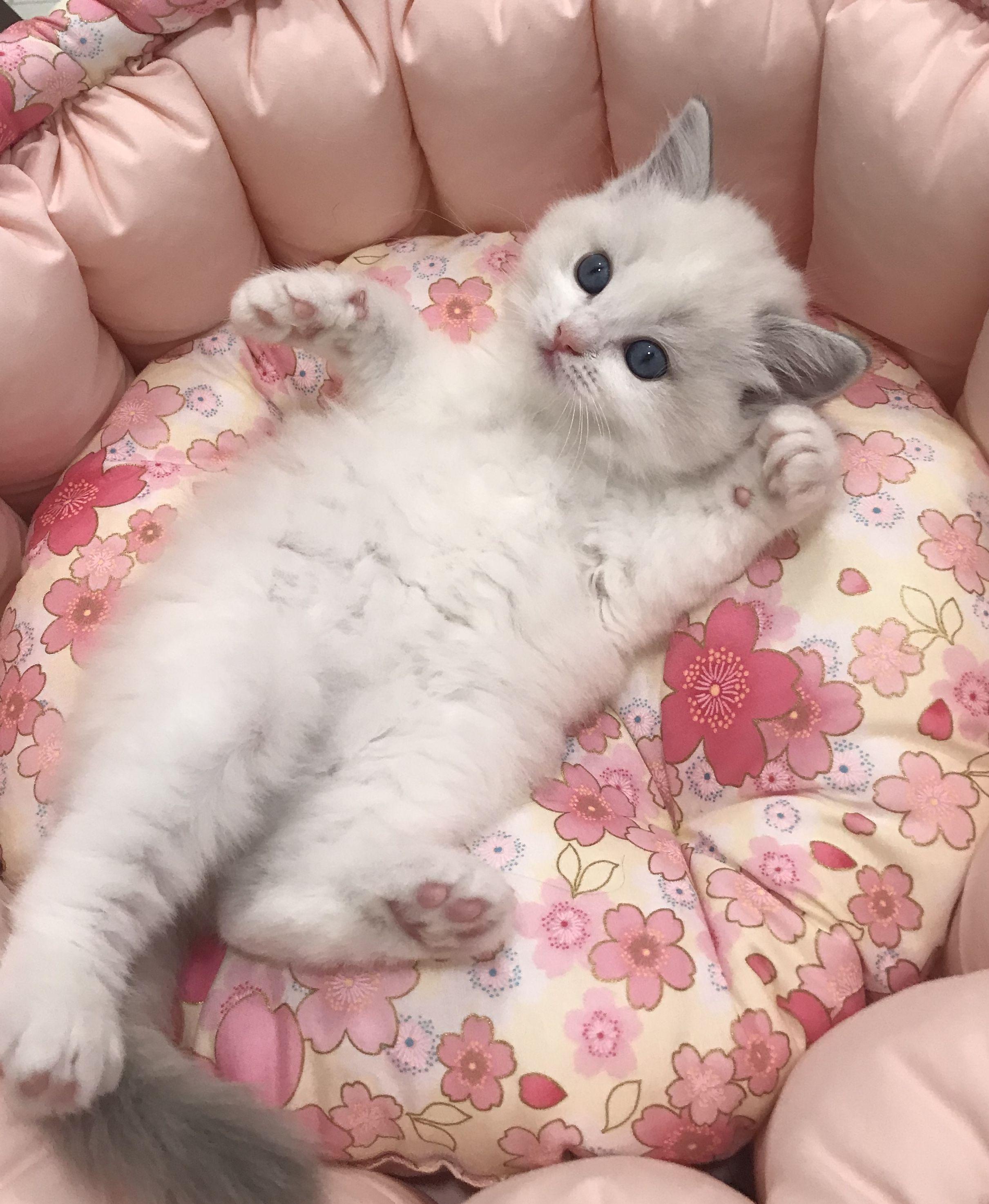 Total Cuteness In 2020 Bengal Cat Kitten Kittens Cutest Ragdoll Kitten