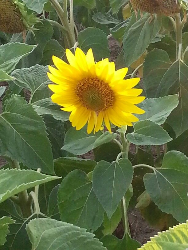 Sunny happy sunflower.