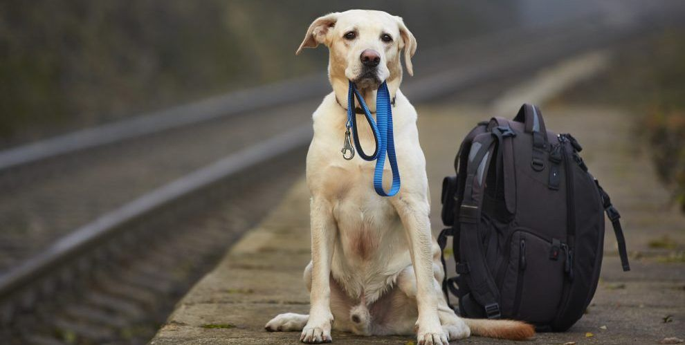 Top Tips for Moving Pets Abroad A Tale of Two Retrievers