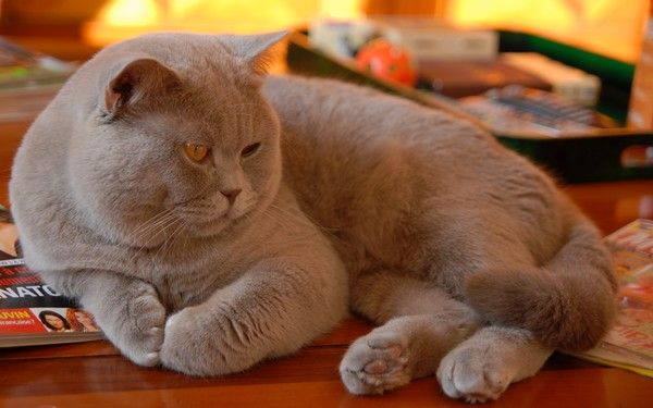 Lilac British Shorthair British Shorthair British Shorthair Cats British Blue Cat