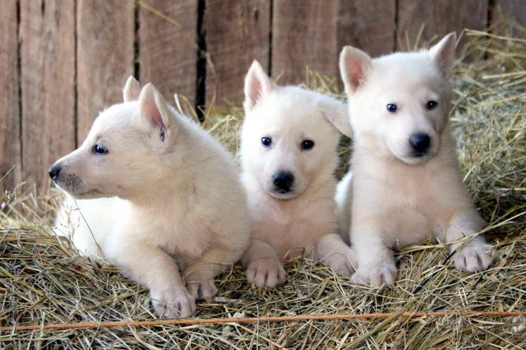 White German Shepherd Pitbull Mix Puppies Photos White German