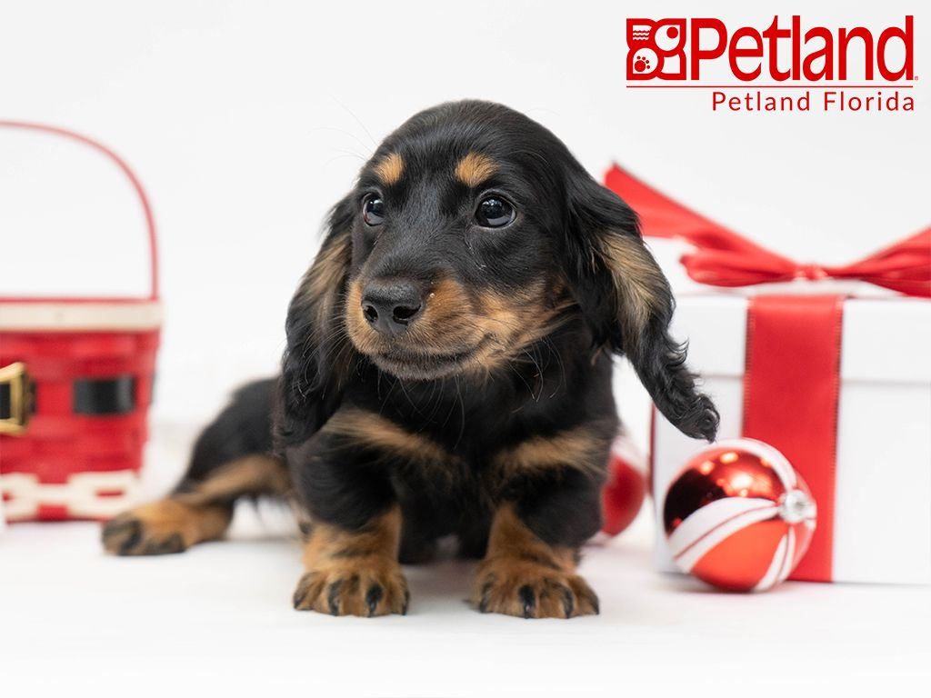 Petland Florida Has Dachshund Puppies For Sale Check Out All Our