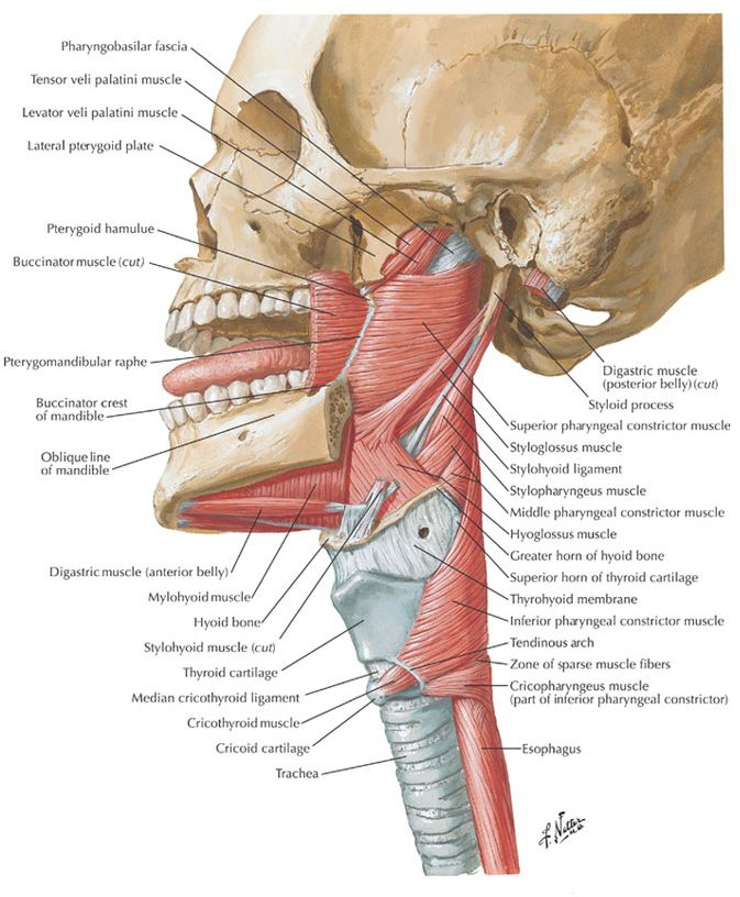 Muscles of the pharynx | Vocal Pedagogy | Pinterest | Muscles and ...