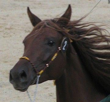 kone > kone na predaj. Polish Horses available