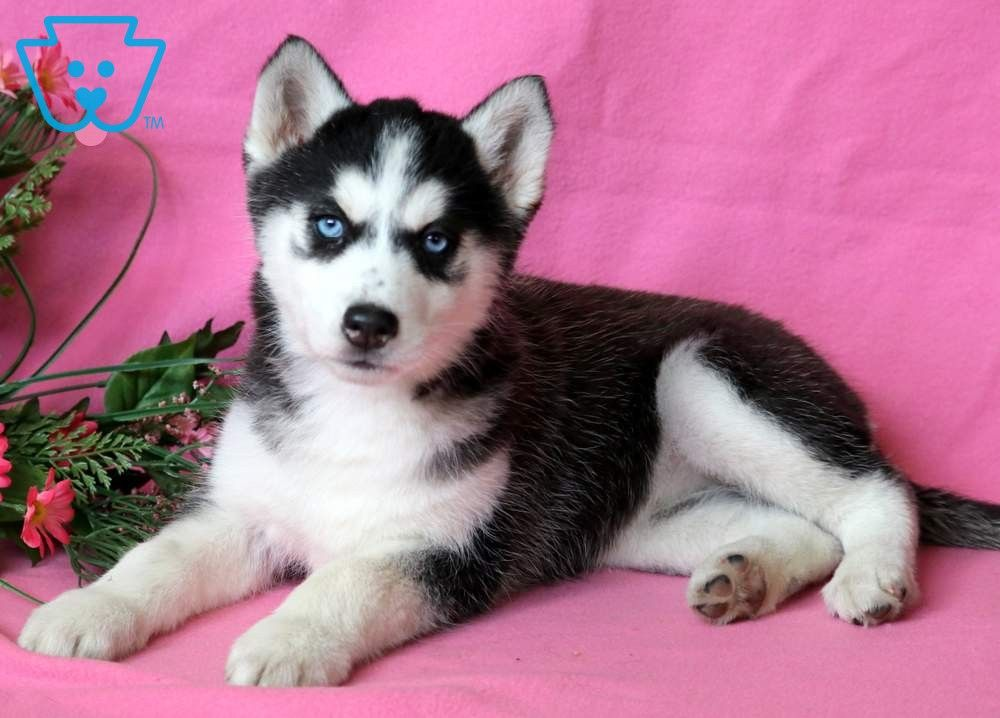 Sierra Husky Puppies For Sale Husky Puppy Siberian Husky Puppies