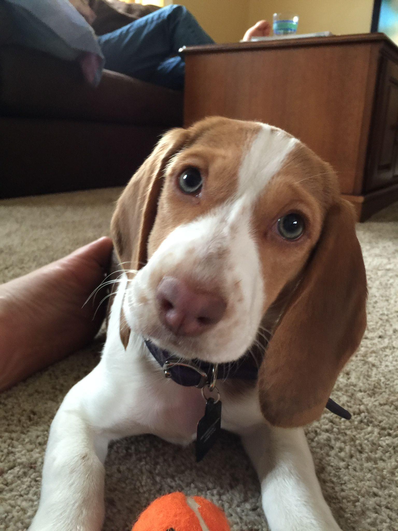Beagle Face Beagle Puppy Beagle Pup