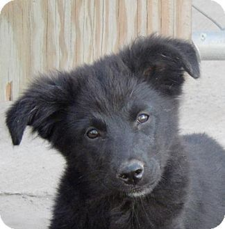 Hagerstown, MD - Border Collie/Retriever (Unknown Type) Mix. Meet Cashmere B, a puppy for adoption. http://www.adoptapet.com/pet/16763164-hagerstown-maryland-border-collie-mix